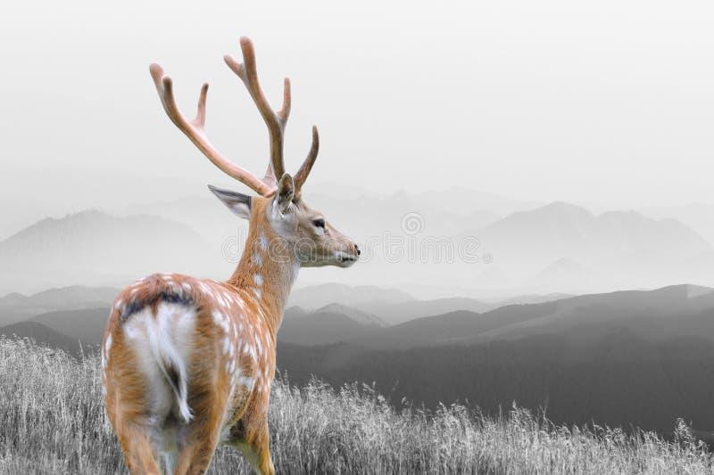 与颜色鹿的黑白摄影 免版税库存照片
