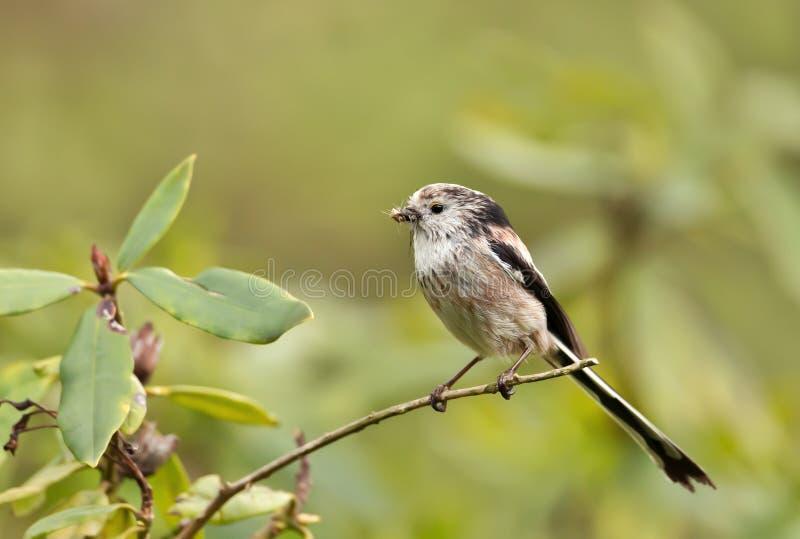 与额嘴的长尾的山雀有很多昆虫 库存图片