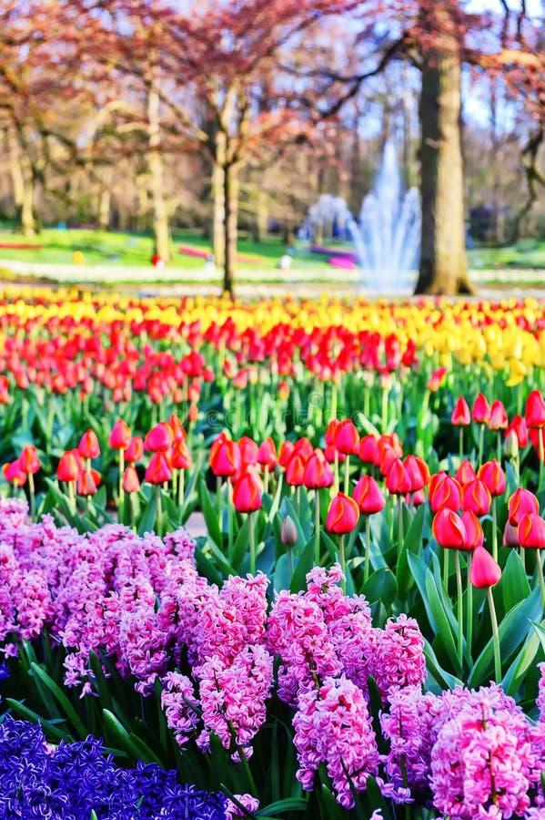 与风信花和多色郁金香的春天风景 免版税库存图片