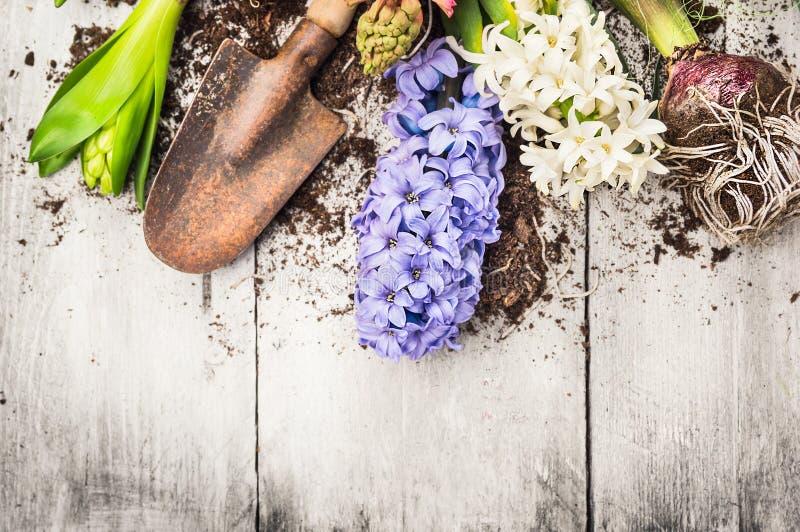 与风信花花、电灯泡、肿胀、铁锹和土壤的春天从事园艺的背景 免版税库存照片