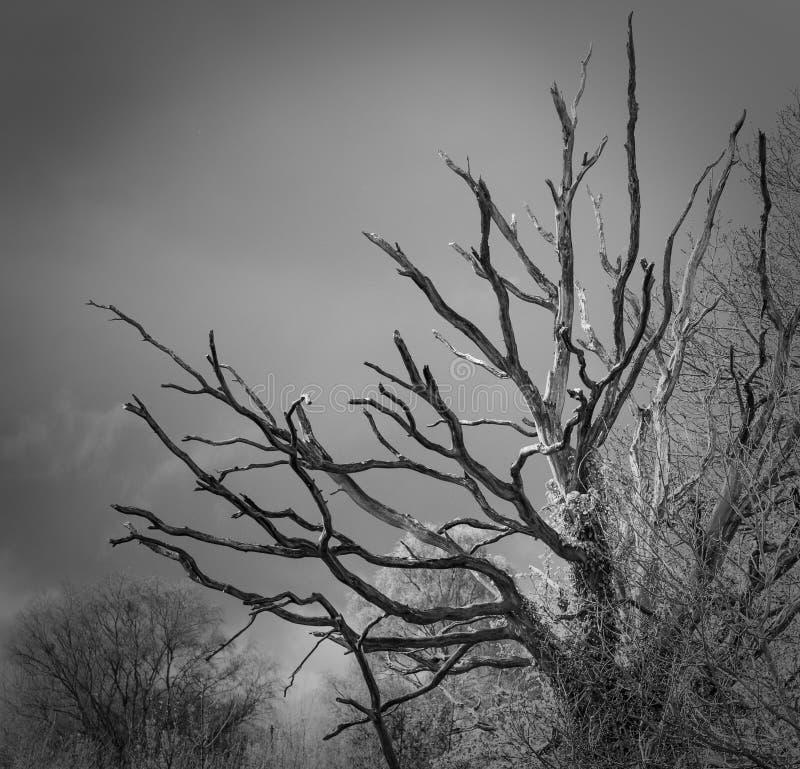 与风雨如磐的天空的死的树 免版税库存照片