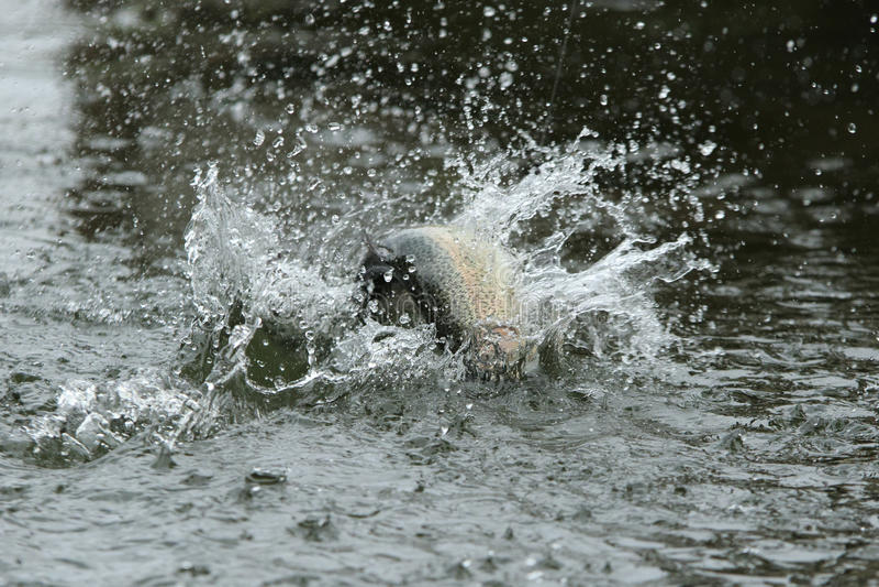 与飞溅的鳟鱼渔 免版税图库摄影