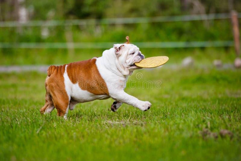 与飞碟的愉快的英国牛头犬 免版税库存图片