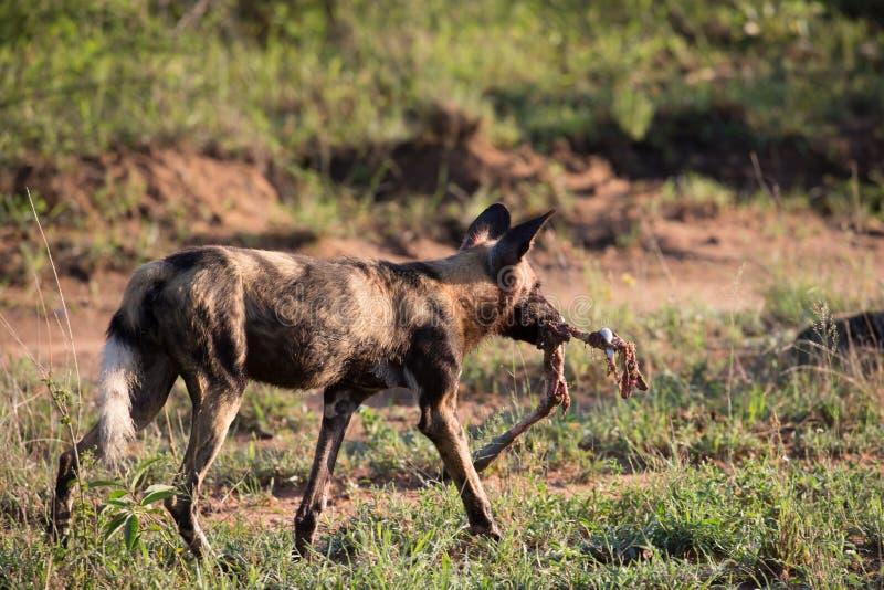 与飞羚午餐的非洲豺狗 免版税库存照片