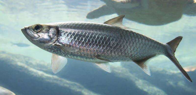 与飞翅游泳的银鱼在海水 免版税图库摄影