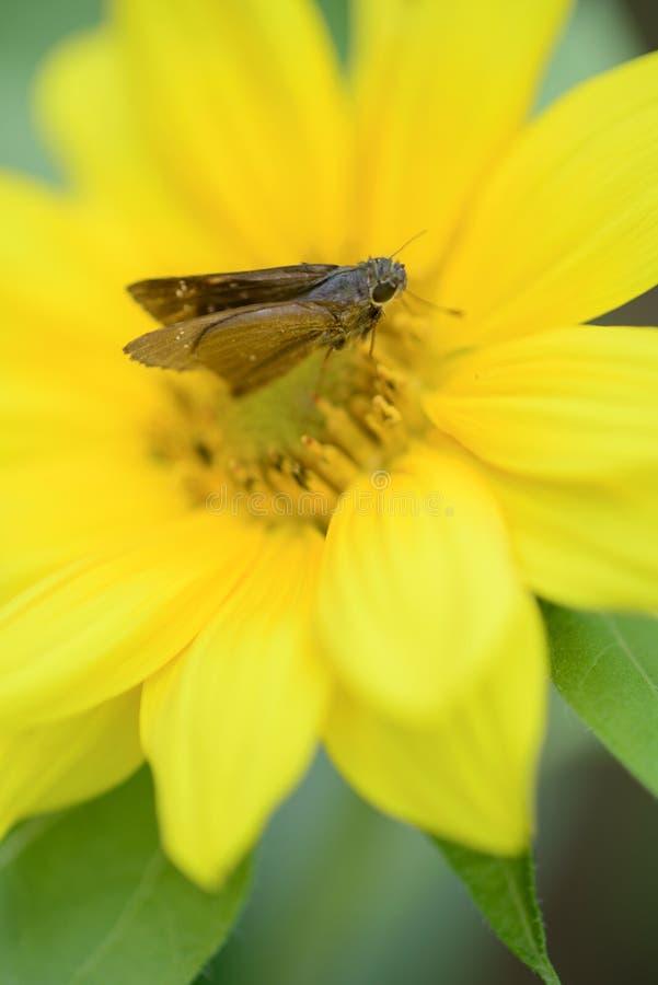 与飞蛾的向日葵 免版税库存图片