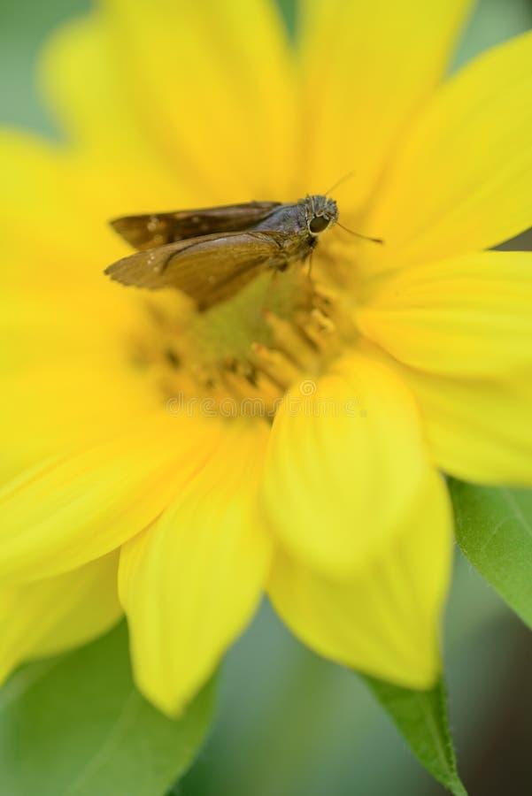 与飞蛾的向日葵 库存图片