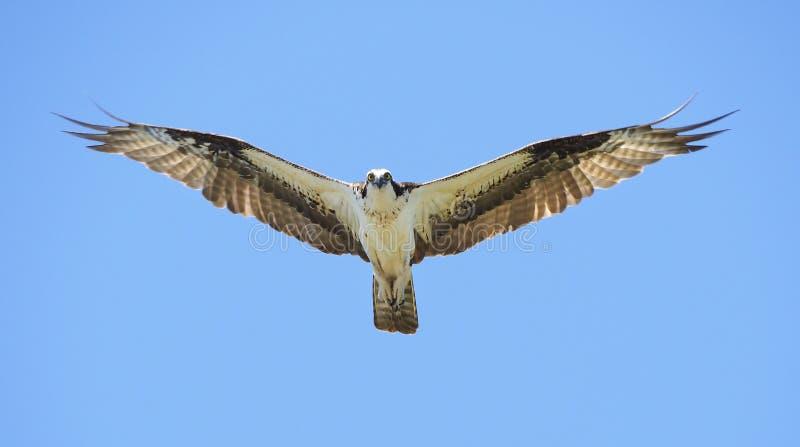 与飞行往您的Outstreched翼的美丽的白鹭的羽毛天空蔚蓝的 库存图片