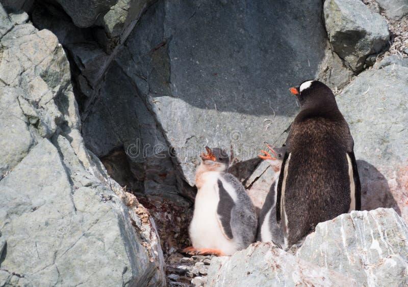 与饥饿的小鸡的Gentoo企鹅 免版税库存图片