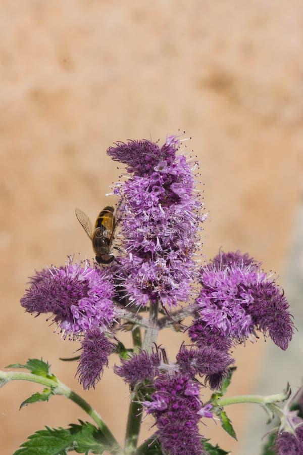 与马蝇特写镜头的开花的薄菏或盖醇紫罗兰色花在花圃,选择聚焦,浅DOF 库存照片
