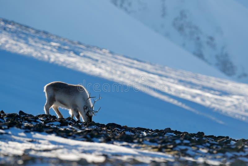 与驯鹿的冬天风景 野生驯鹿,驯鹿属tarandus,与在雪的巨型的鹿角,斯瓦尔巴特群岛,挪威 斯瓦尔巴特群岛鹿 库存图片