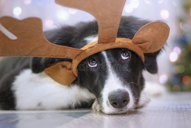 与驯鹿鹿角的博德牧羊犬小狗在一张滑稽的圣诞节画象 免版税库存照片