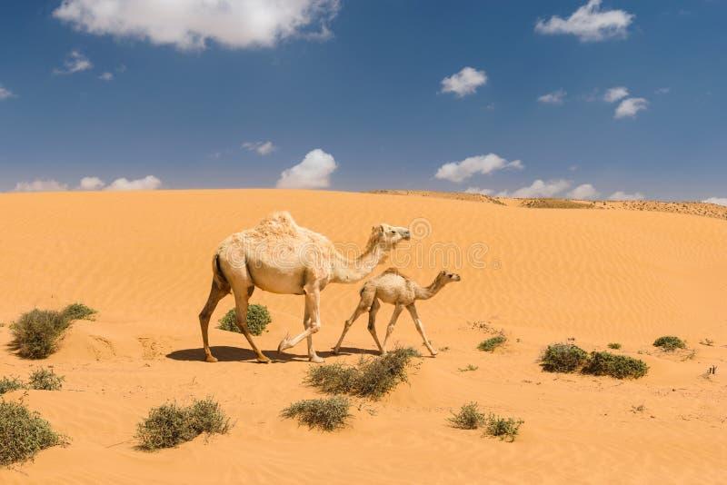 與駒在沙漠,摩洛哥的白色阿拉伯駱駝圖片