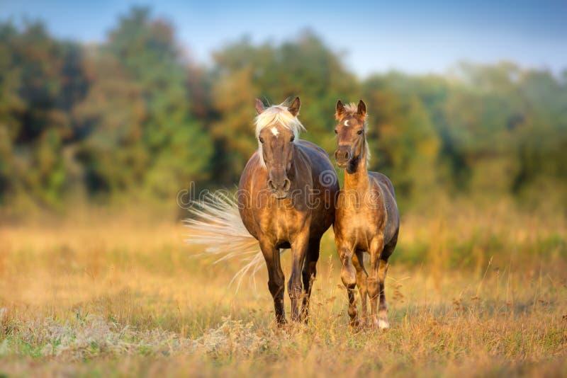与驹步行的母马 免版税库存图片