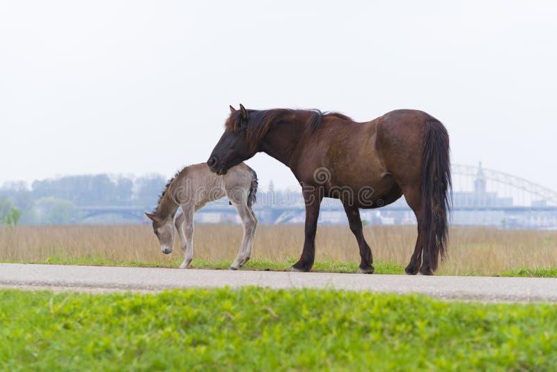 与驹的Przewalski马 免版税图库摄影