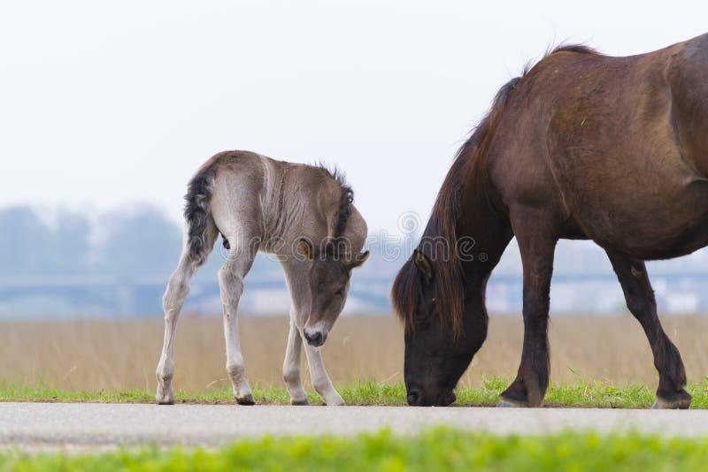 与驹的Przewalski马 免版税库存图片