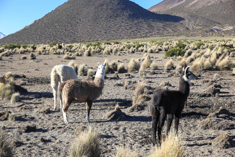 与骆马牧群的安地斯山的风景  免版税库存图片