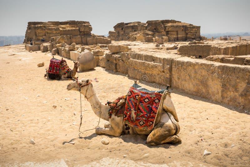与骆驼的伟大的金字塔 库存图片