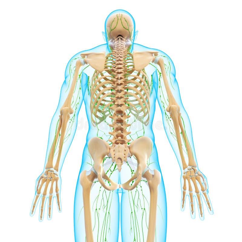 与骨骼的男性后面景色淋巴系统 向量例证