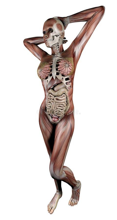 与骨骼肌和器官的女性身体 向量例证