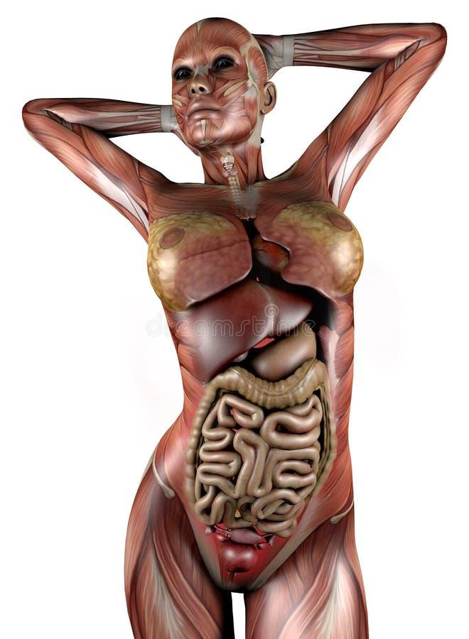 与骨骼肌和器官的女性身体 库存例证