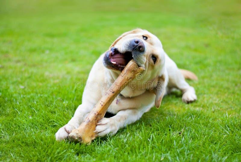 与骨头的狗 免版税图库摄影