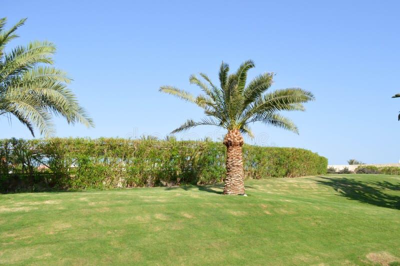 与高棕榈的美好的热带热的手段有叶子、异乎寻常的植物、树和绿草的反对蓝天在埃及 免版税图库摄影
