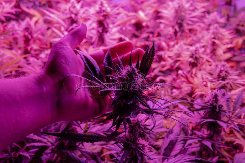 与高级THC CBD元素的医疗大麻张力 在细节的特写镜头花蕾 库存照片