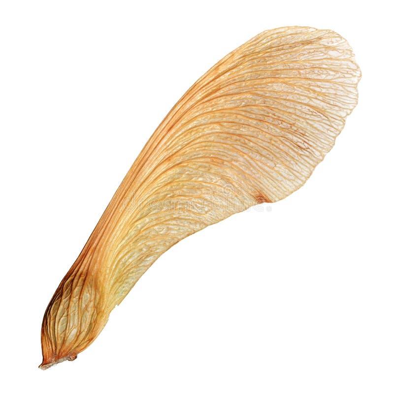 与高细节的被隔绝的槭树种子特写镜头宏指令 免版税库存图片