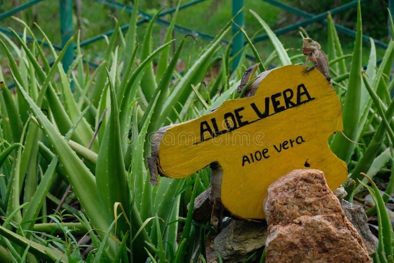 与鬣鳞蜥的芦荟维拉在一个辣庭院里在斯里兰卡,亚洲 库存照片