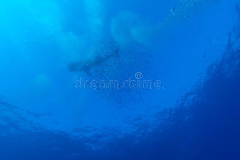与鱼学校,缓慢地Cayo的鲸鲨 免版税图库摄影