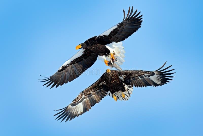 与鱼捕获的鸟 在天空蔚蓝的老鹰乐队战斗 野生生物行动从自然的行为场面 美丽的Steller \'s海鹰, 库存照片