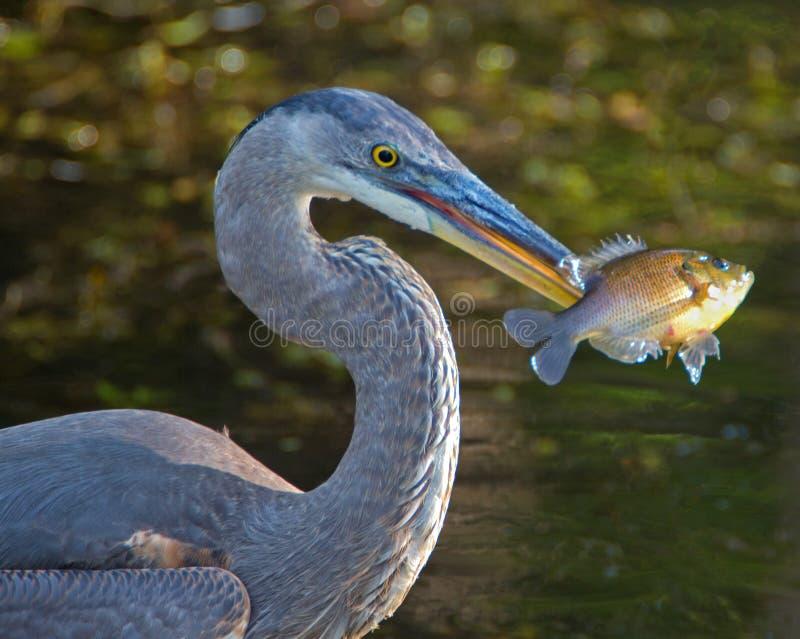 与鱼的伟大蓝色的苍鹭的巢 免版税库存图片