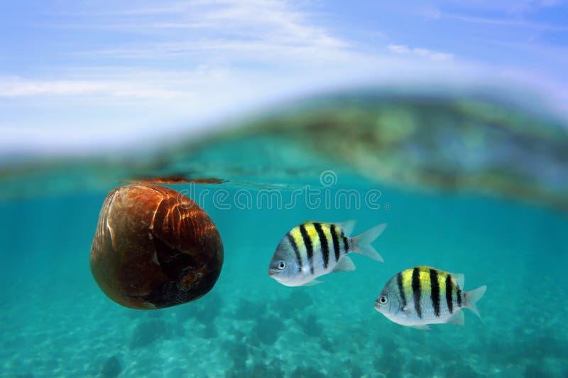 与鱼的椰子漂泊在水表面下 图库摄影