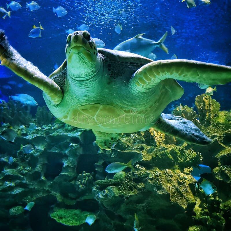 与鱼的海草龟 免版税库存图片