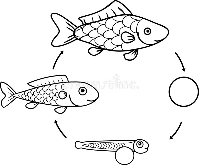 与鱼的生命周期的上色页 鱼的发展阶段序列从獐鹿的到成人动物 库存例证