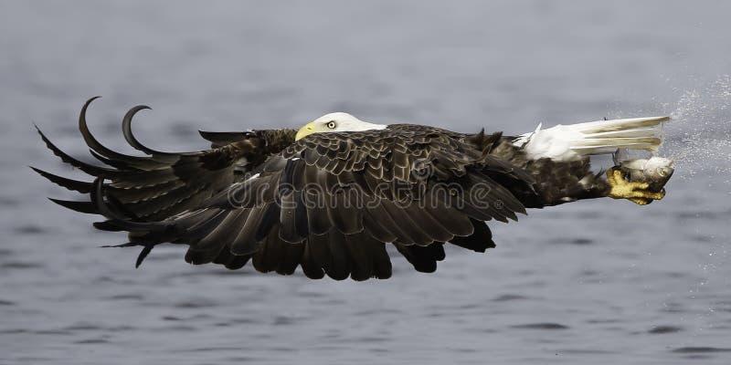 与鱼的白头鹰飞行 免版税库存照片