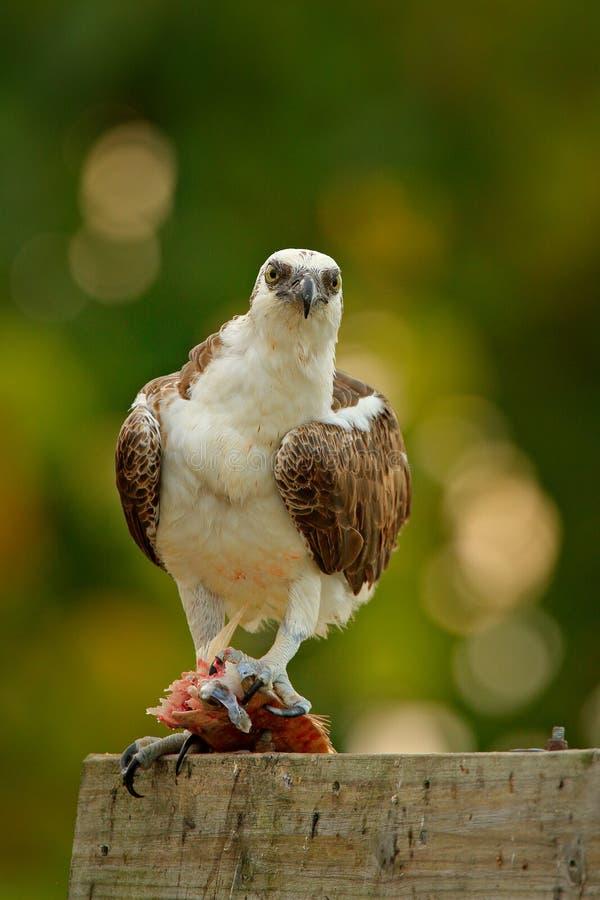 与鱼的白鹭的羽毛 鸟抓住鱼 鸷白鹭的羽毛, Pandion haliaetus,哺养的抓住鱼,墨西哥 从nat的野生生物场面 免版税图库摄影
