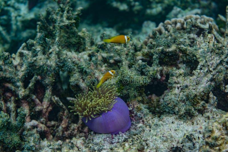 与鱼的美好的紫色活珊瑚在马尔代夫的海洋 库存图片