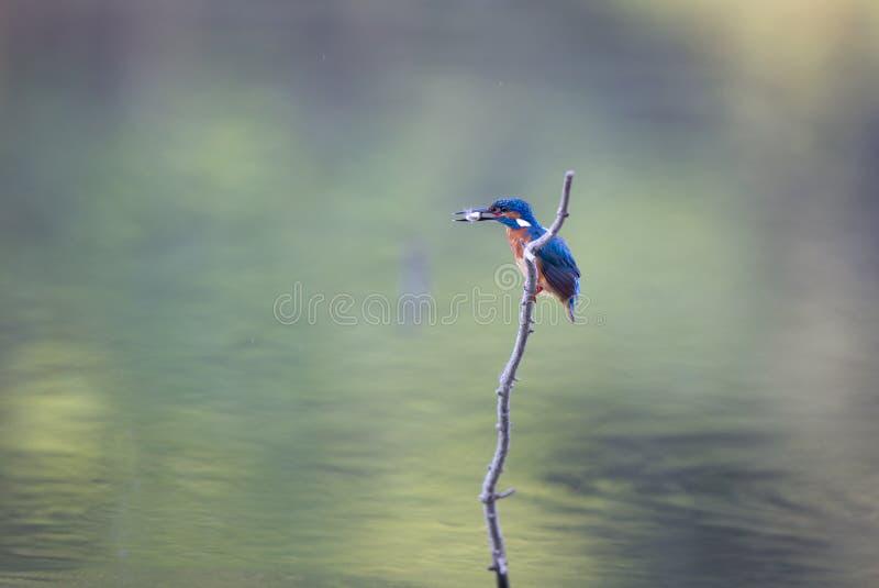 与鱼的翠鸟鸟在额嘴 库存图片