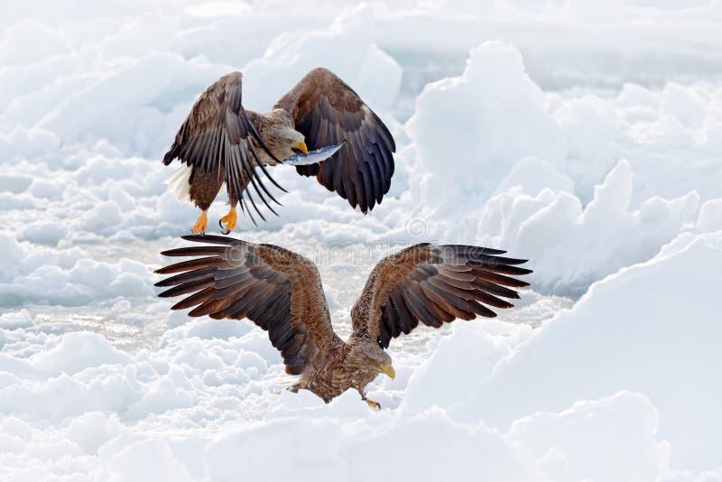 与鱼的老鹰战斗 与两鸷的冬天场面 大老鹰,雪海 飞行白被盯梢的老鹰, Haliaeetus albicilla, 图库摄影
