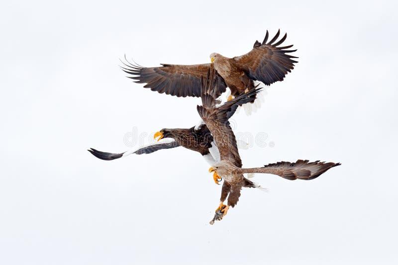 与鱼的老鹰战斗 冬天场面,鸷 大老鹰,雪海 飞行白盯梢了老鹰,北海道,日本,亚洲 有效地 库存图片