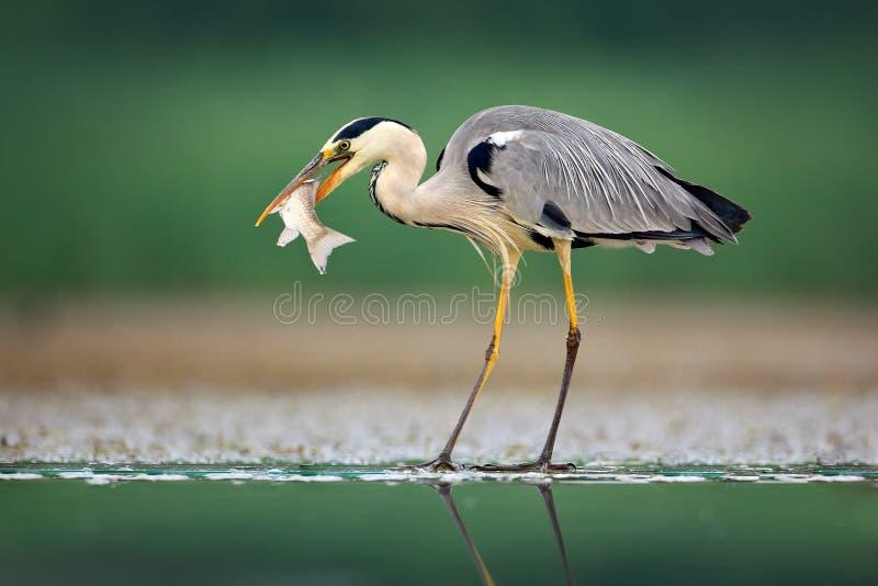 与鱼的苍鹭 灰色苍鹭,灰质的Ardea,在背景中弄脏了草 苍鹭在森林湖 动物在自然栖所, h 免版税图库摄影