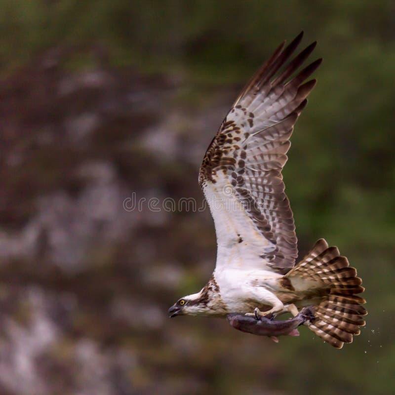 与鱼的苏格兰白鹭的羽毛飞行 库存照片