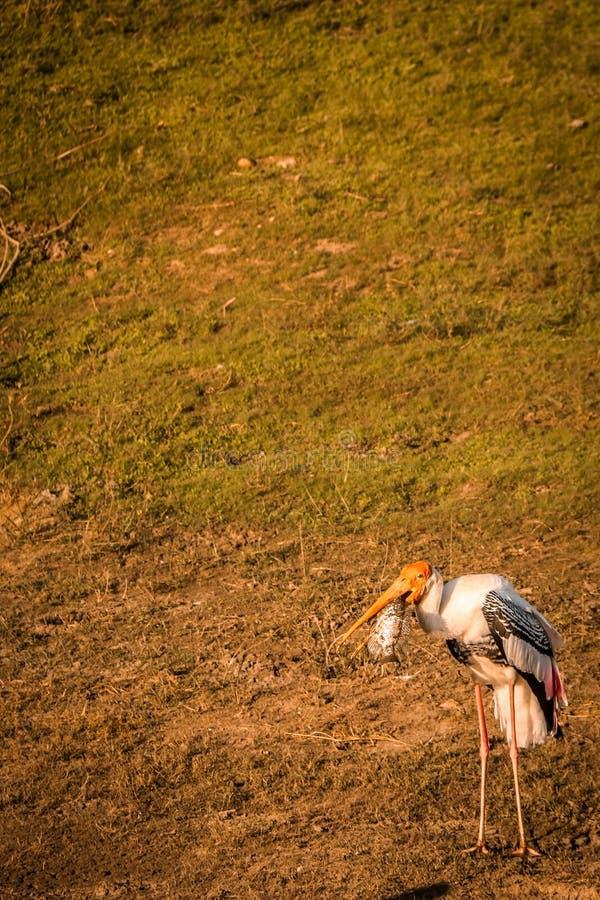 与鱼的被绘的鹳鸟在额嘴,热带斯里兰卡 免版税库存图片