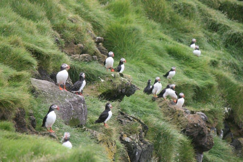 与鱼的许多海鹦在海洋,冰岛附近的峭壁 免版税库存照片