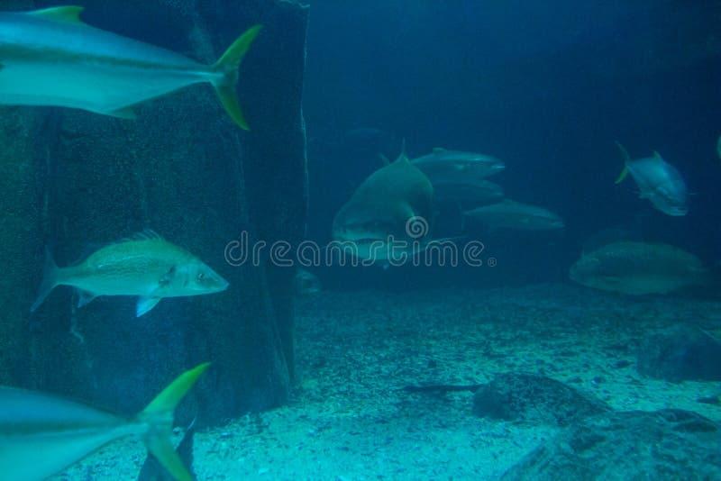 与鱼的鲨鱼游泳 库存图片