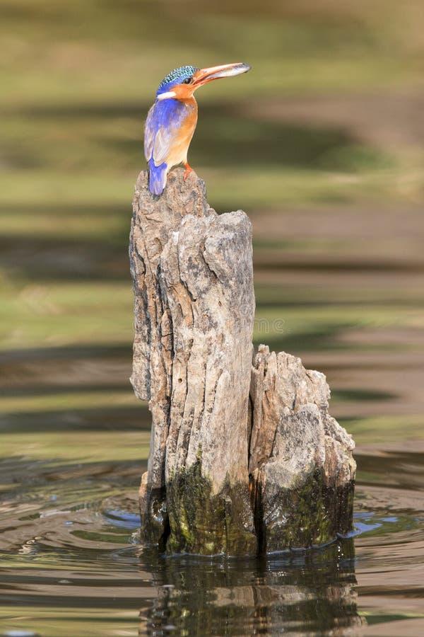 与鱼的绿沸铜翠鸟在他的额嘴之间 免版税图库摄影