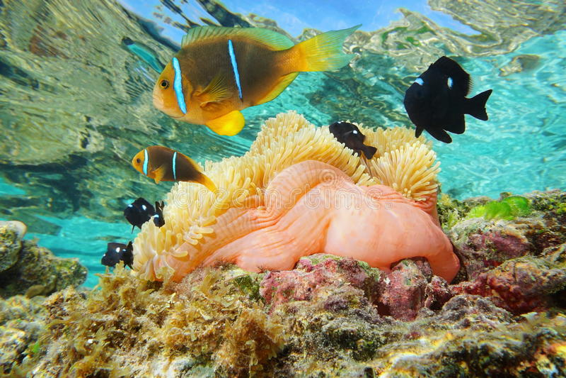 与鱼anemonefish太平洋的海葵 免版税库存照片