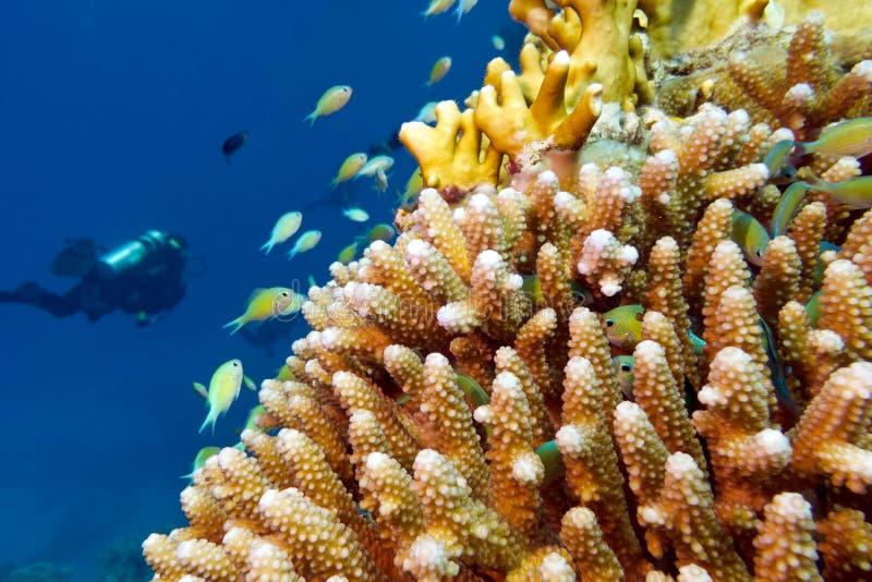 与鱼chromis caerulea和潜水者的珊瑚礁,水下 免版税库存图片
